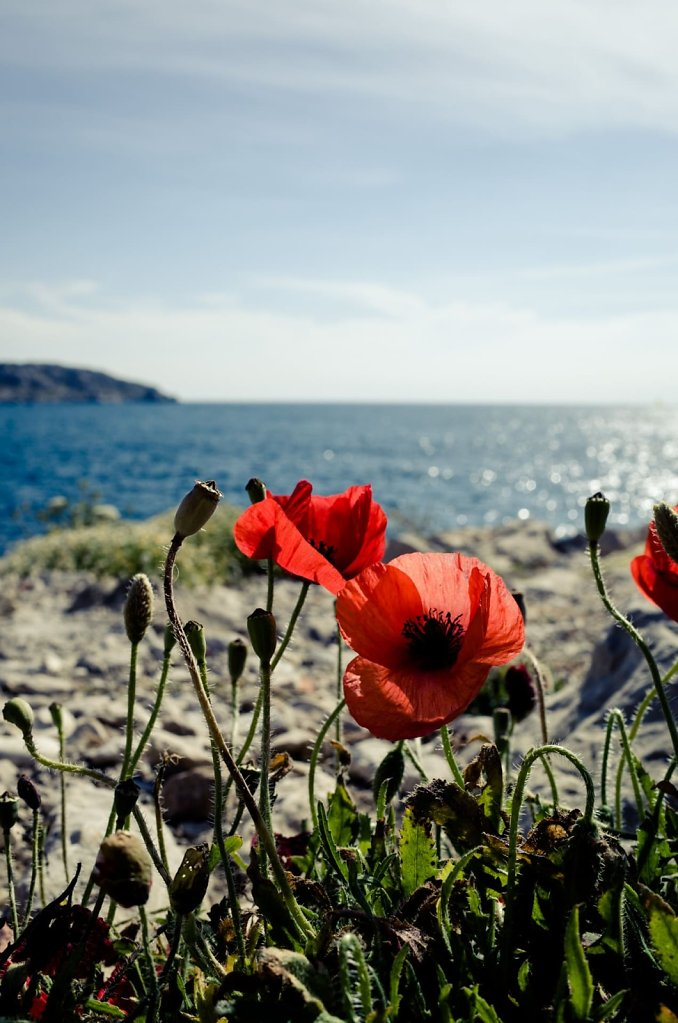Poppy flowers, Marseille