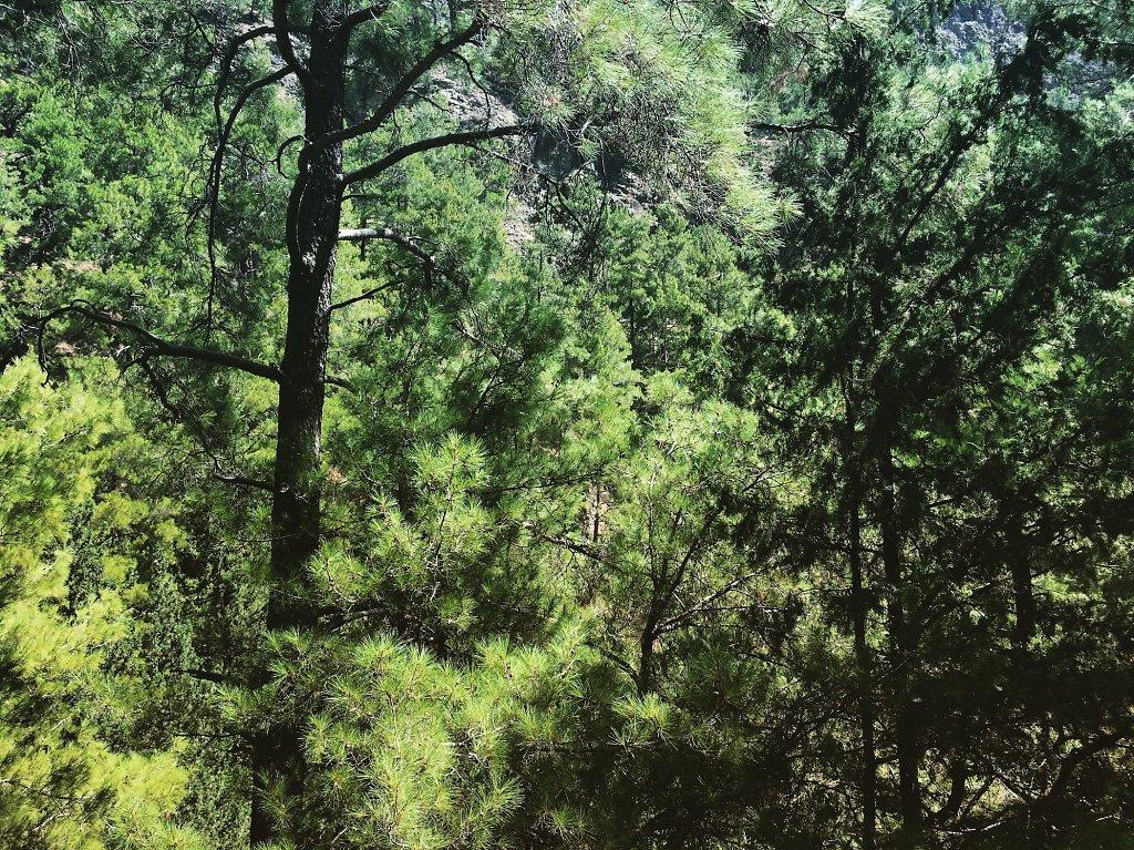 Samaria gorge forest